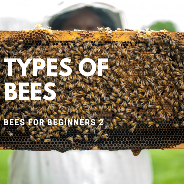 Bees4Beginners 2: Types of Bees & Their Traits